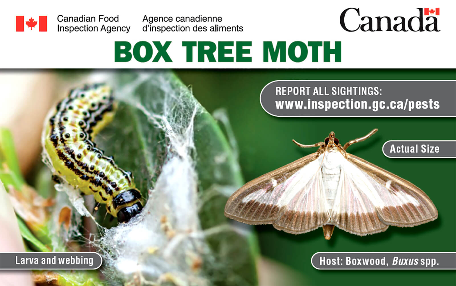 box tree moth larva, webbing, and acutal size moth