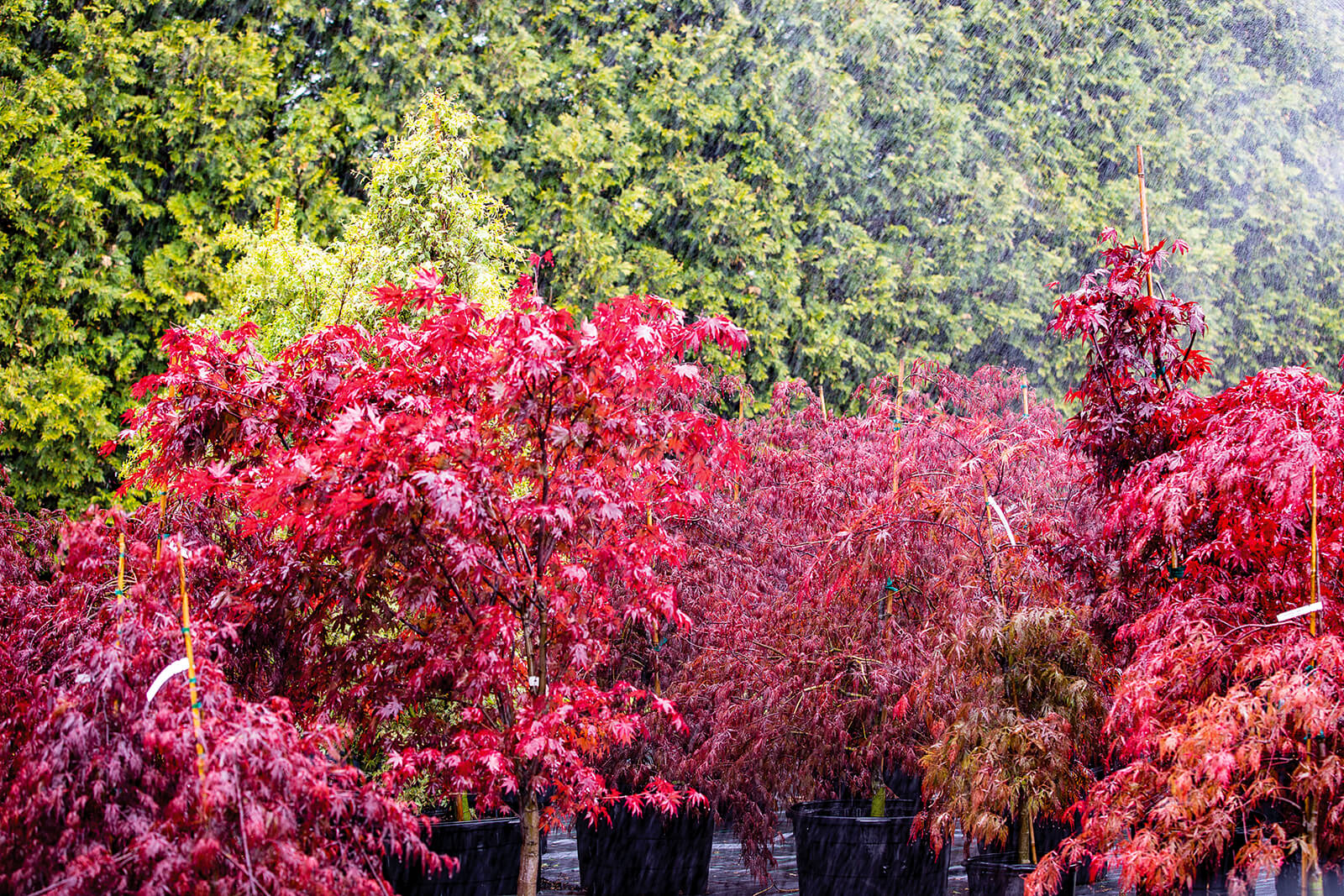 japanese maple being watered