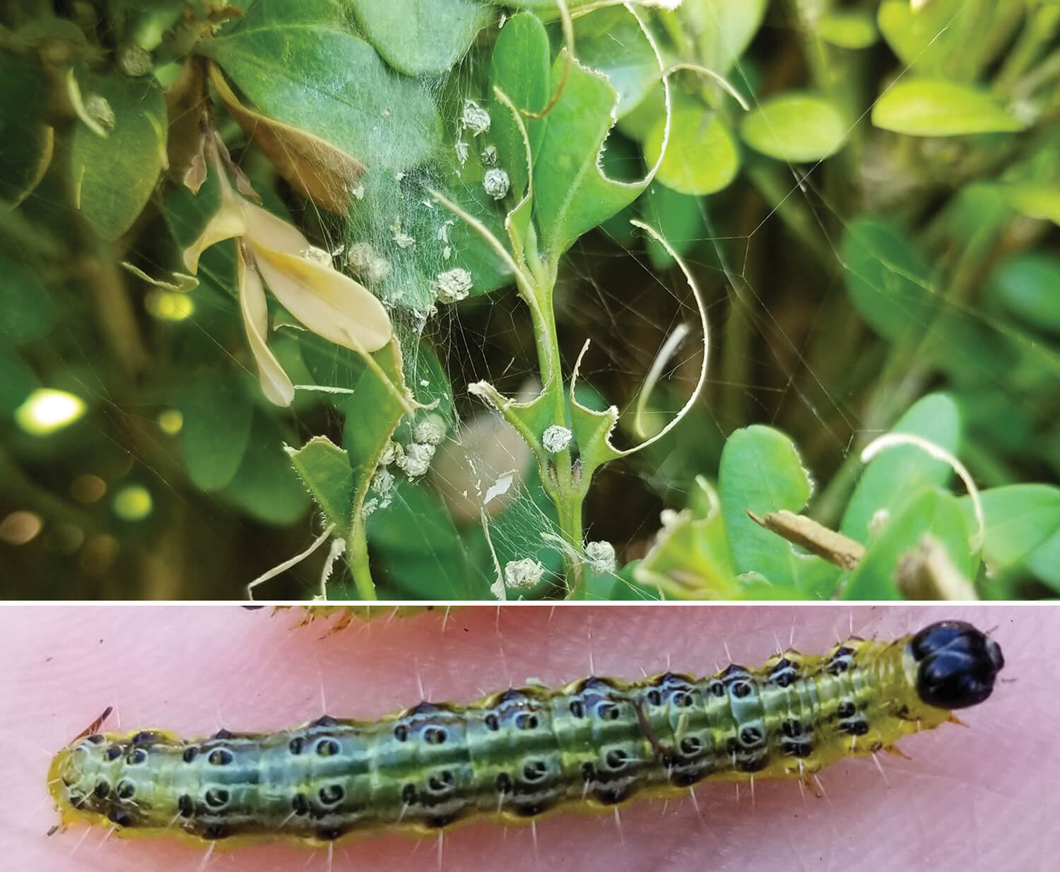 boxwood damage and the larvae that causes it