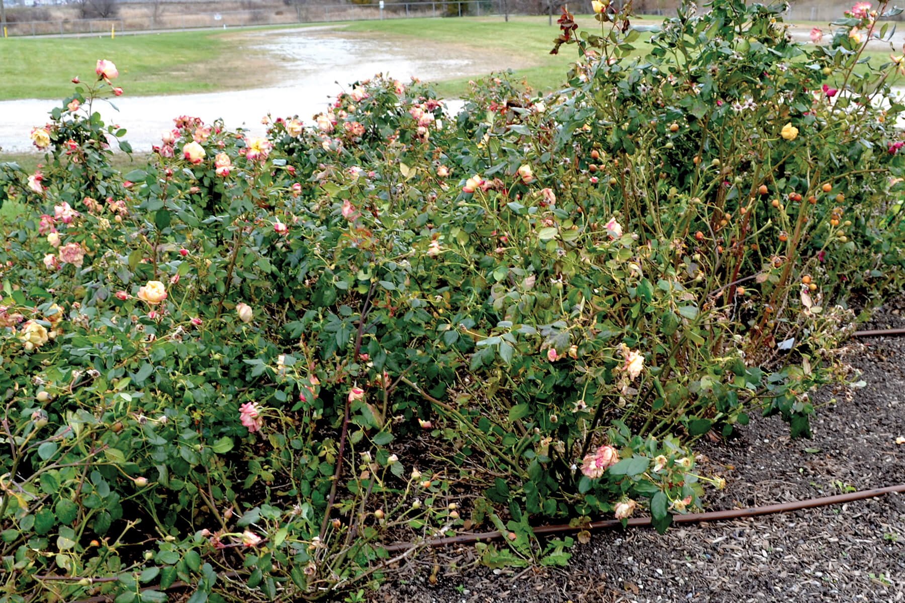 rose bush in november